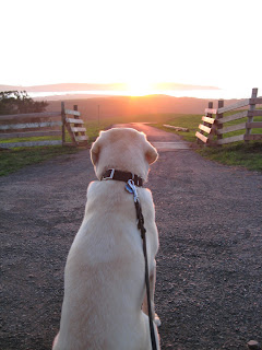 Poppy looking into the sunset through a farm gate