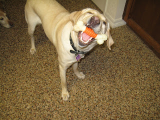 Smiling Poppy with a white and orange Nylabone in her mouth
