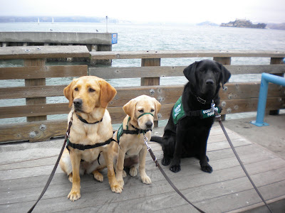 Tulani, 13 mo yellow lab, Lulu, 4 mo yellow lab and Dagan sitting on the platform with the water and Alcatraz in the distance