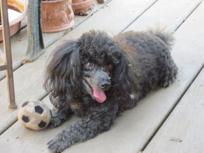 Gogi the tea cup poodle with his stuffed soccer ball