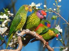papagali...