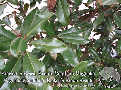 Braken's Brown Beauty Southern Magnolia Leaves