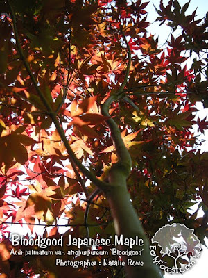 Bloodgood Japanese Maple Leaves & Branching