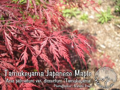 Tamukeyama Japanese Maple Leaves
