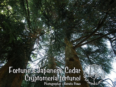 Fortune's Japanese Cedar Branching