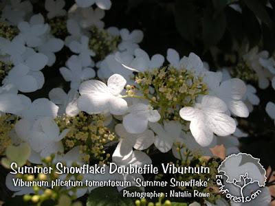 Summer Snowflake Doublefile Viburnum Flowers