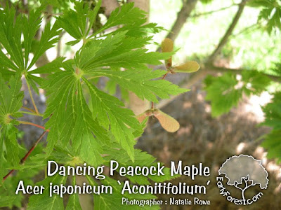 Dancing Peacock Japanese Maple Leaves & Seeds