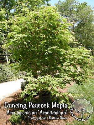 Dancing Peacock Maple