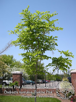 Perkins Pink American Yellowwood