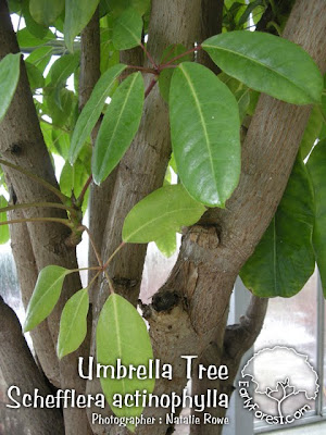 Umbrella Tree Bark