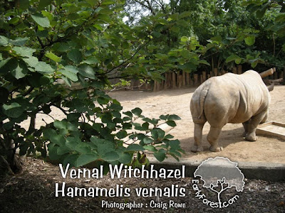 Vernal Witchhazel & Rhinoceros