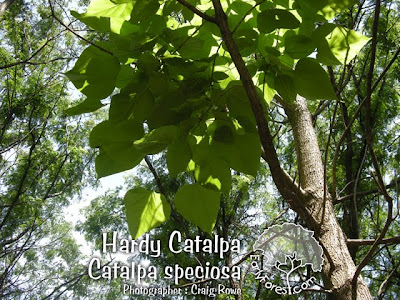 Hardy Catalpa Leaves