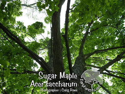 Sugar Maple Branching