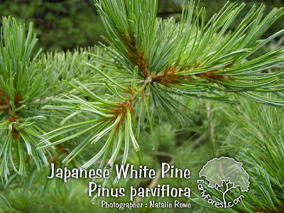 Japanese White Pine Needles