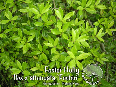 Foster Holly Leaves