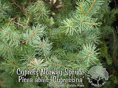 Cypress Norway Spruce Foliage
