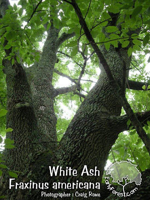 White Ash Bark & Branching
