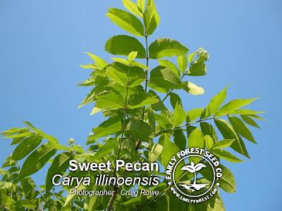 Sweet Pecan Leaves