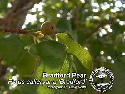 Pear Trees image