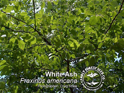 White Ash Leaves