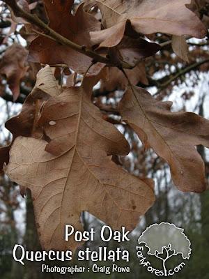 Post Oak Leaf