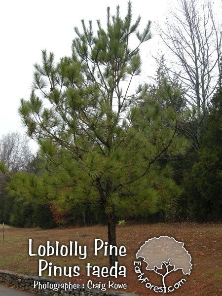 how to start a pine tree