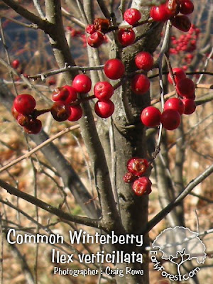 Common Winterberry Fruit