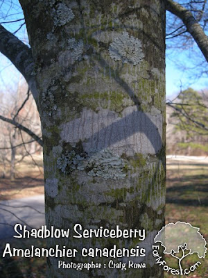 Shadblow Serviceberry Bark