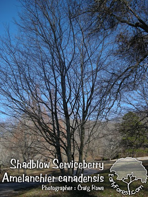 Shadblow Serviceberry Tree