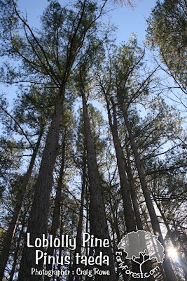 Loblolly Pine Grove