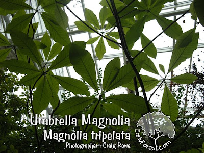 Umbrella Magnolia Leaves