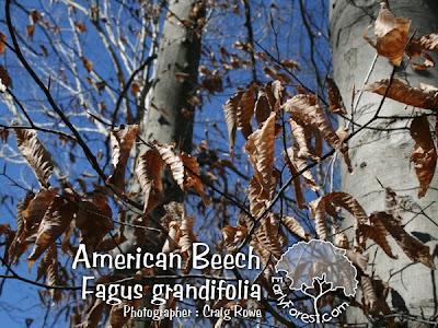 American Beech Leaves in Winter