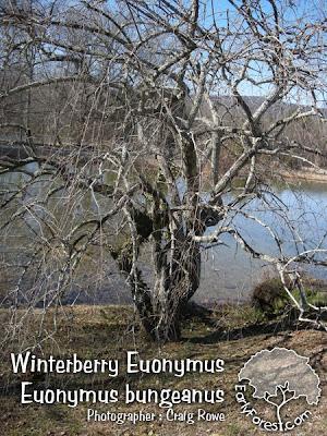 Winterberry Euonymus
