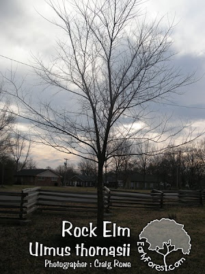 Rock Elm Tree