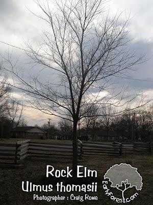 Rock Elm Tree