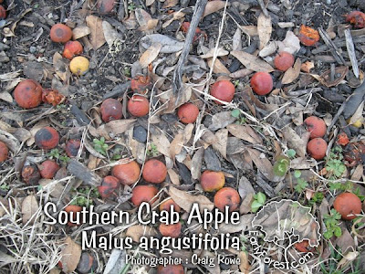 Southern Crab Apple Fruit