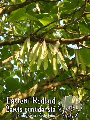 Eastern Redbud Seeds