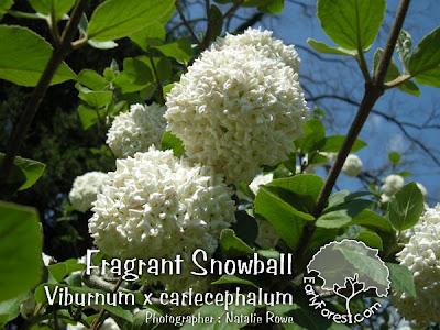 Fragrant Snowball Viburnum Blooms