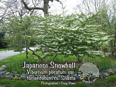 Japanese Snowball Viburnum