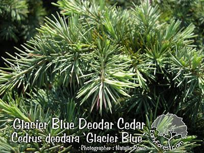 Glacier Blue Deodar Cedar Foliage