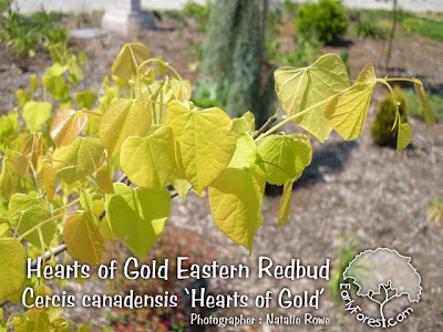 Hearts of Gold Eastern Redbud Leaves