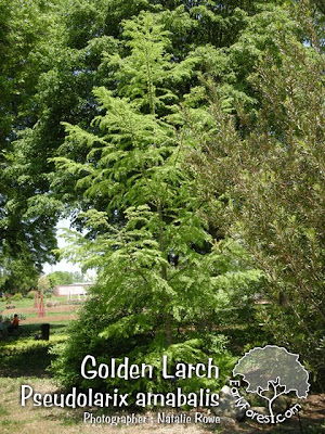 Golden Larch Tree