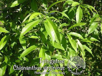 Fringetree Leaves