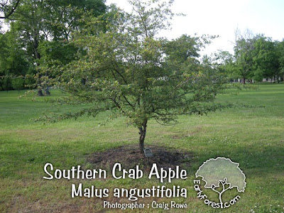 Southern Crab Apple Tree