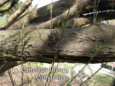 Cornelian Cherry Bark