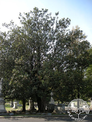 Kentucky Champion Southern Magnolia
