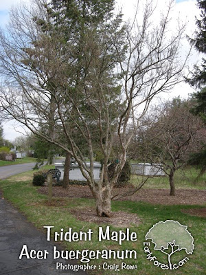 Trident Maple Tree