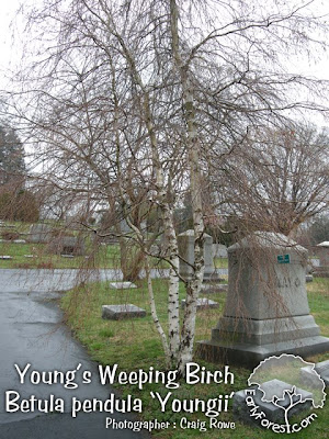 Young's Weeping Birch