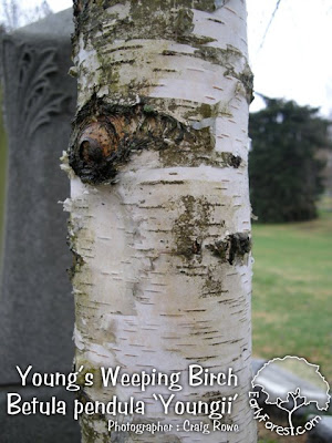 Young's Weeping Birch Bark