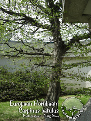 European Hornbeam Tree